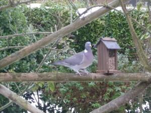 Wood Pigeon at The Kilns